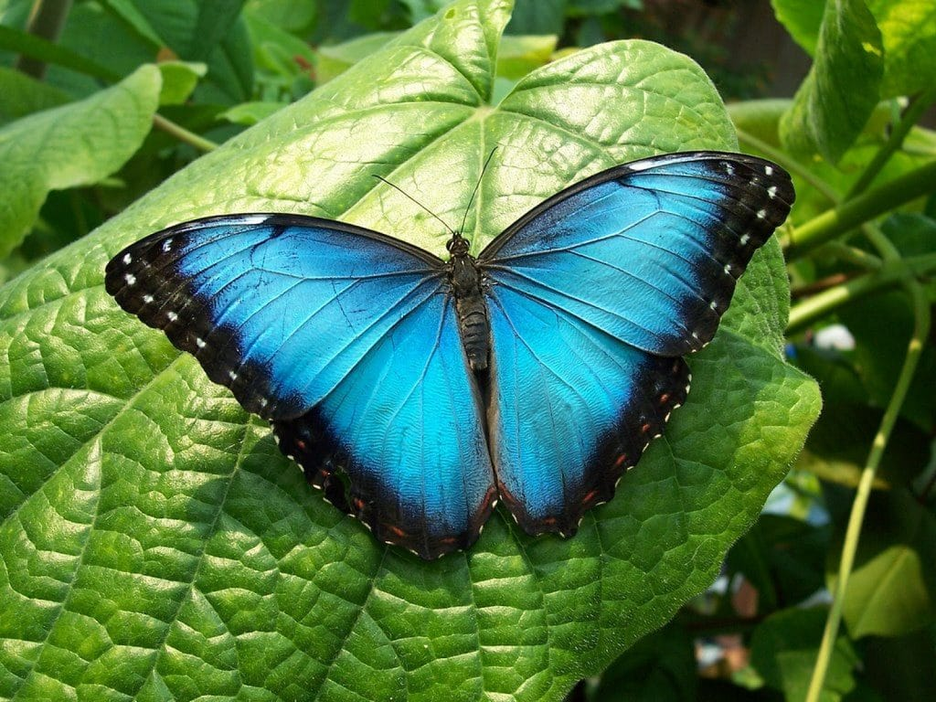 Mariposa azul unica