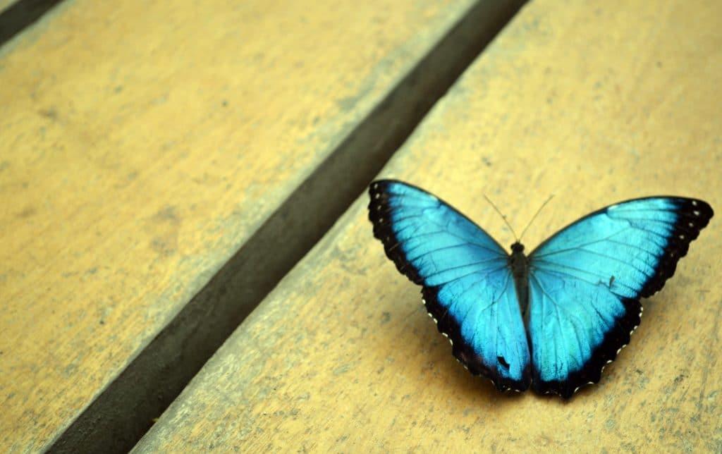 Mariposas azules deslumbrantes