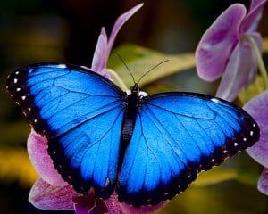 mariposa azul contrastante