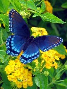 mariposa azul buena suerte