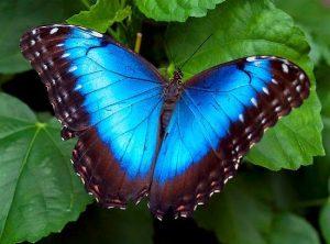 mariposa azul majestosa