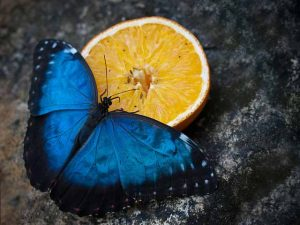 mariposa-azul-7