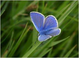 mariposa azul: características, significado, peligro de extinción y mas