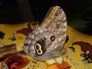 mariposa búho en musáceas