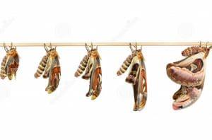 mariposa gigante origa