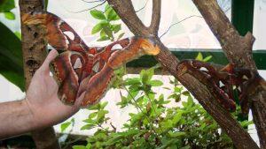 mariposa gigante bella