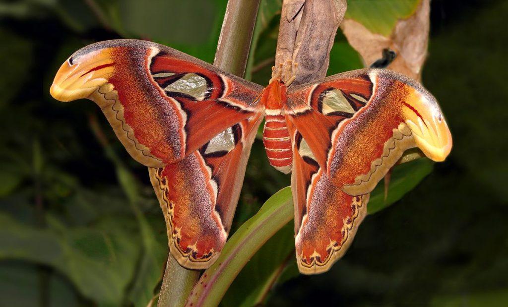 mariposa gigante tipos