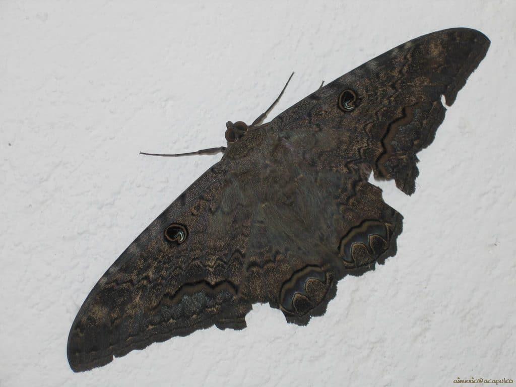 mariposa gigante negra