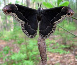 mariposa gigante negra no muy querida