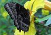Mariposa negra: Significado, leyenda, reacción alérgica y más