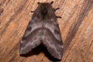 mariposas negras alergia