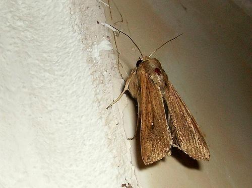 mariposa noctuna2