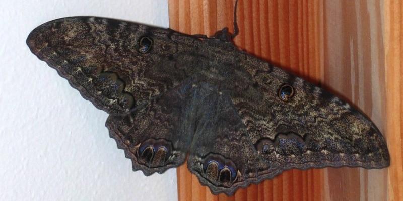 mariposa nocturna suertuda