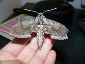 mariposa nocturna grande