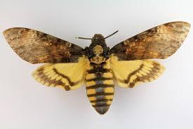 mariposa nocturna2