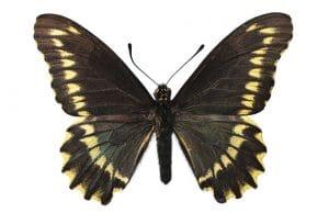 tipos de mariposas chile