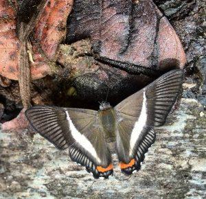 mariposa negra poca suerte