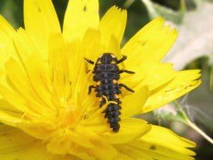 mariquita-larva