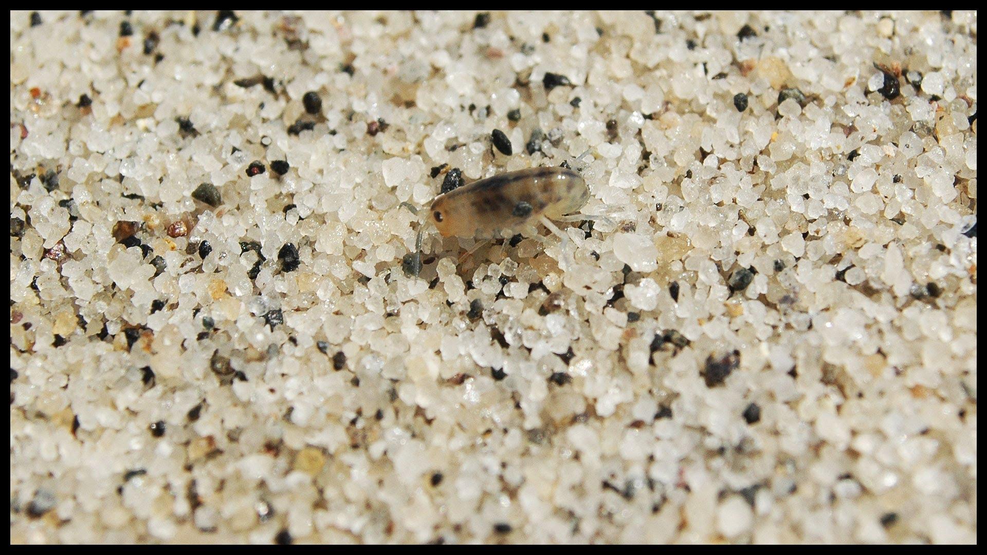 pulga de arena