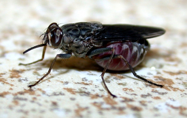 mosca africana