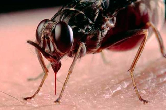 picadura de moscas