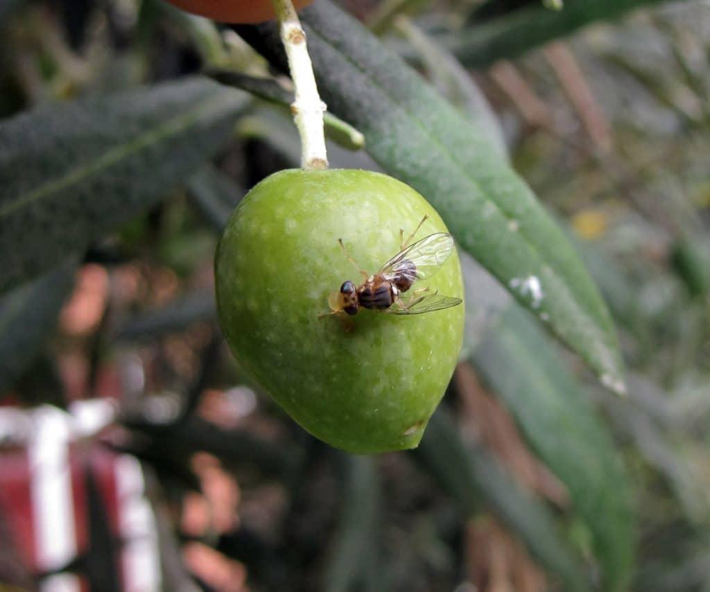 mosca de olivo