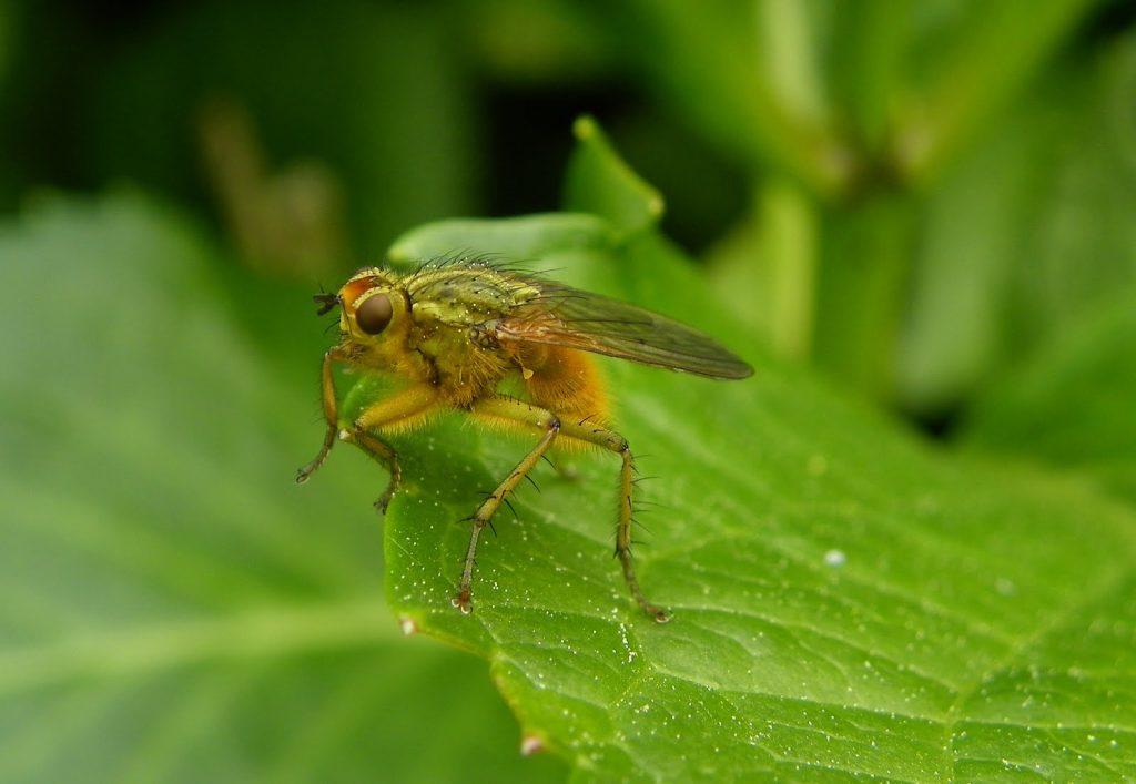 mosca amarilla