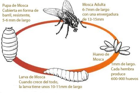 ciclo de vida de la mosca