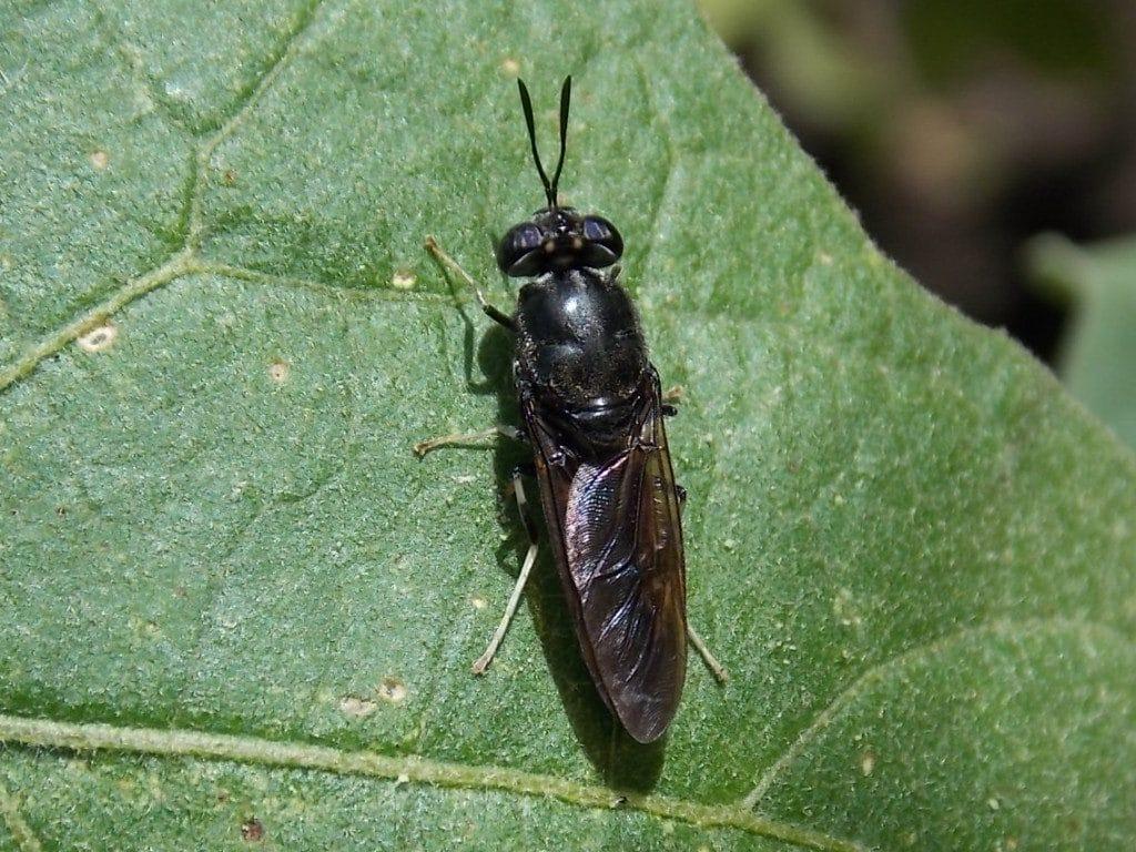 mosca soldado