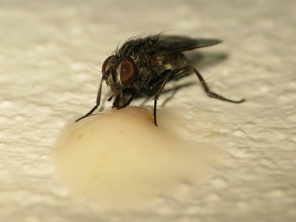 alimentación de la mosca
