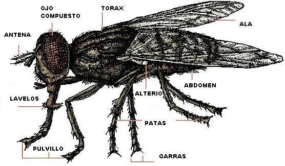 partes de la mosca