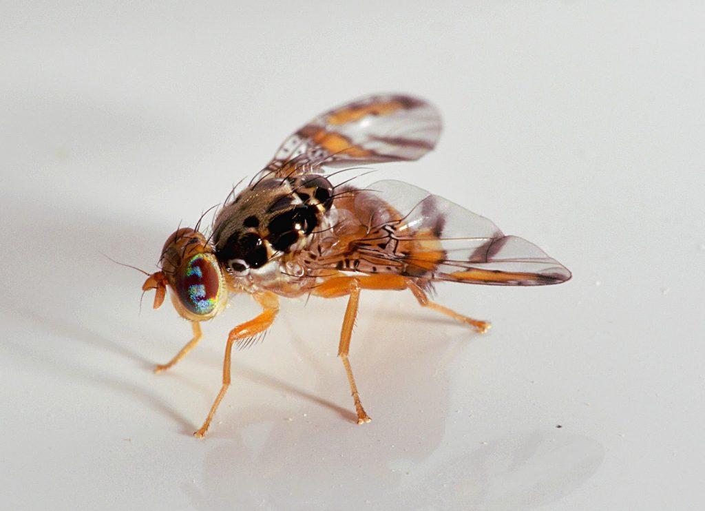 mosca de la fruta adulta