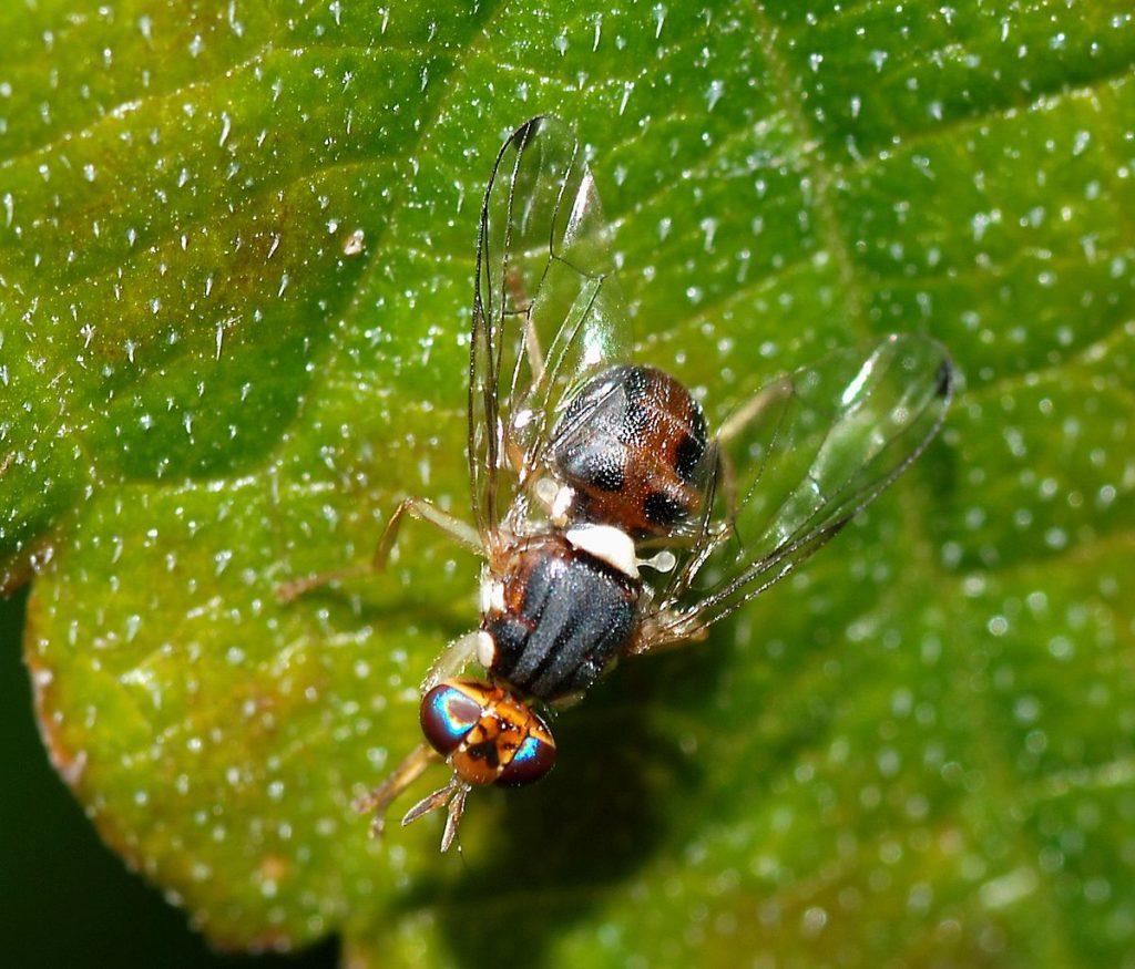 ejemplar de moscas