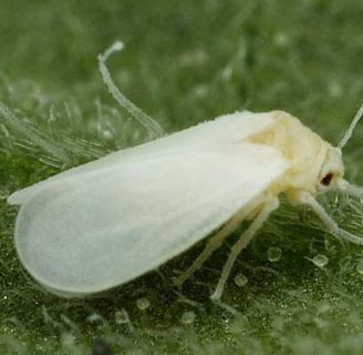 Mosca blanca: Características, ciclo biológico, taxonomía y más.
