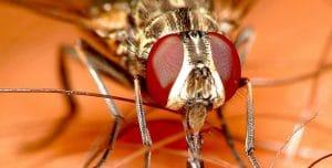 mosca del establo