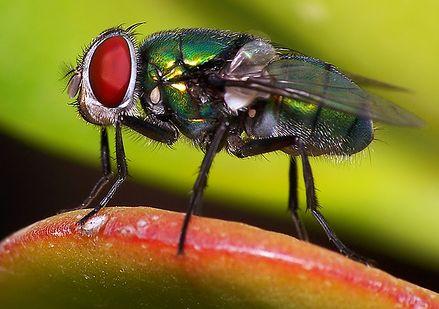mosca verde mentalica