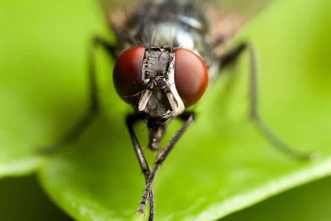 ojos de la mosca