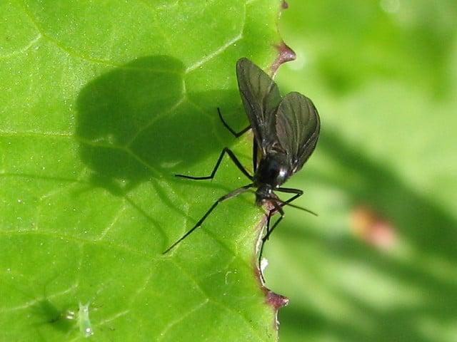 mosca_negra