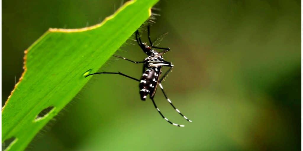 ejemplar del mosquito aedes aegypti o mosquito del dengue fiebre amarilla