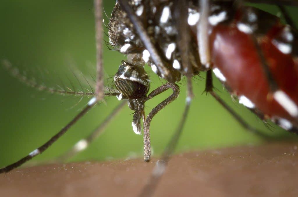 taxonomía mosquito aedes aegypti