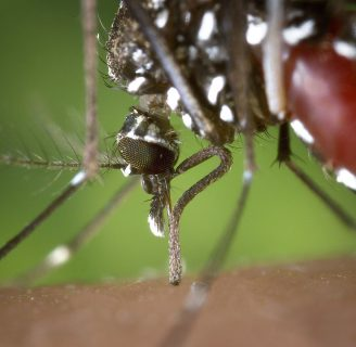 Mosquito aedes aegypti (Mosquito del dengue-fiebre amarilla): Características, síntomas y más