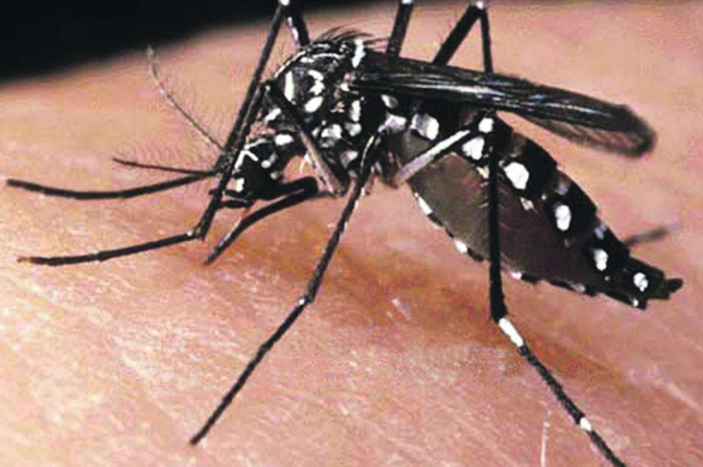 mosquito patas blancas o mosquito del dengue
