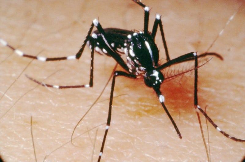 etimología del mosquito aedes aegypti o mosquito del dengue fiebre amarilla