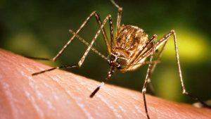 Reproducción del mosquito aedes aegypti o mosquito del dengue fiebre amarilla