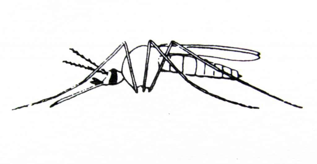esqueleto del mosquito aedes aegypti o mosquito del dengue fiebre amarilla