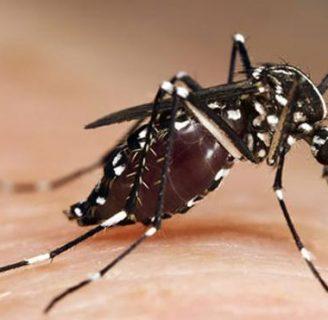 Mosquito tigre (Mosquito del dengue): Características, síntomas, y más.