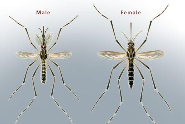 Diferencias entre macho y hembra de mosquito tigre.