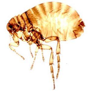 palomas pulgas
