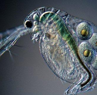 Pulgas de agua: Todo lo que ignoras de esta especie
