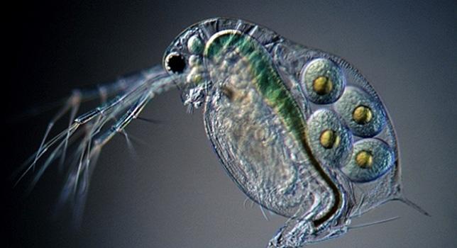 pulga de agua